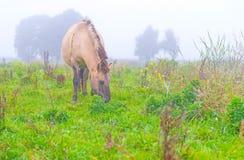 Pferd auf einem nebelhaften Gebiet im Herbst Lizenzfreie Stockfotos