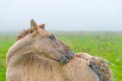 Pferd auf einem nebelhaften Gebiet im Herbst Lizenzfreie Stockfotografie
