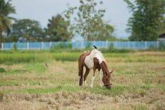 Pferd auf einem Reisweizen-Erntefeld Stockbilder