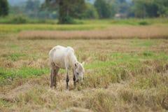 Pferd auf einem Reisweizen-Erntefeld Lizenzfreie Stockfotografie