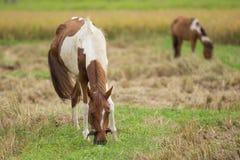 Pferd auf einem Reisweizen-Erntefeld Stockfotografie