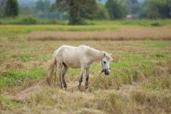 Pferd auf einem Reisweizen-Erntefeld Stockfotos