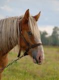 Pferd auf einer Wiese Lizenzfreies Stockbild