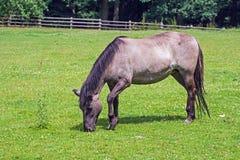 Pferd auf einer Wiese Lizenzfreie Stockfotos