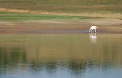 Pferd auf Fluss Lizenzfreie Stockfotos