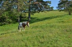 Pferd auf grünem Feld Lizenzfreie Stockbilder