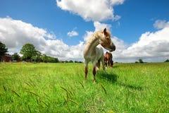 Pferd auf grüner Weide über blauem Himmel stockfotografie