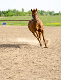 Pferd auf Laufleinenlinie Stockfotografie