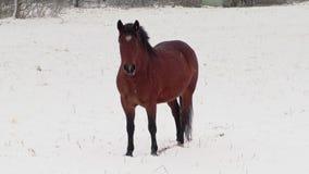 Pferd auf Schnee im Winter stock video