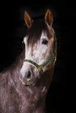 Pferd auf Schwarzem Lizenzfreie Stockfotos