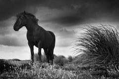 Pferd auf Seelöwe-Insel Stockbild