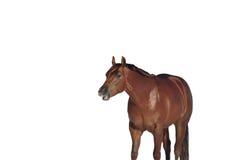 Pferd auf weißem Hintergrund Stockbild