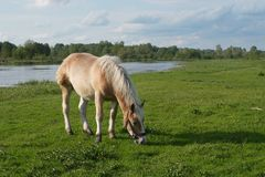 Pferd auf Wiese Stockbild