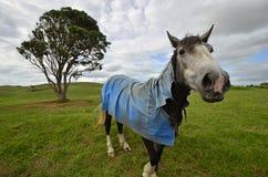 Pferd auf Wiese mit blauem Mantel Stockbild
