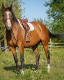 Pferd bereit zum Reiten Stockfoto