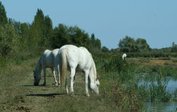 Pferd-Camargue-Zucht Lizenzfreie Stockfotos