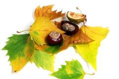 Pferd-chesnuts und Gelbblätter Lizenzfreie Stockfotos
