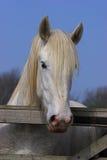 Pferd, das über einem Gatter schaut. Stockfotografie