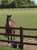 Pferd, das über einem Zaun schaut Stockfotos