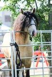Pferd, das über Tor mit dem Haar im Gesicht schaut Stockfotos