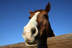 Pferd, das über Zaun blickt Stockbilder