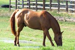 Pferd, das auf Bauernhof isst Stockfotografie