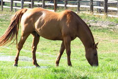 Pferd, das auf Bauernhof weiden lässt Stockfotos