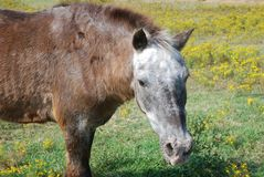 Pferd, das auf dem Gebiet von Blumen weiden lässt Lizenzfreies Stockbild
