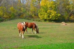 Pferd, das auf dem Gebiet weiden lässt Lizenzfreie Stockfotografie