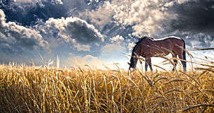 Pferd, das auf dem Gebiet weiden lässt stock abbildung