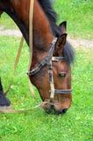Pferd, das auf dem Rasen weiden lässt Stockbild