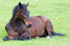 Pferd, das auf der Wiese liegt Lizenzfreie Stockfotografie