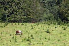 Pferd, das auf einem Berg nahe dem Wald weiden lässt Lizenzfreie Stockfotos