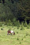 Pferd, das auf einem Berg nahe dem Waldsommer weiden lässt Lizenzfreie Stockfotos
