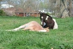 Pferd, das auf einem Gebiet legt Stockbilder