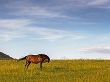 Pferd, das auf einem Gebiet nahe Wald weiden lässt Lizenzfreie Stockfotos