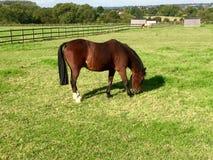 Pferd, das auf einem Gebiet weiden lässt Stockfotografie