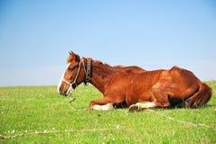 Pferd, das auf einem Grasfeld stillsteht Stockbild