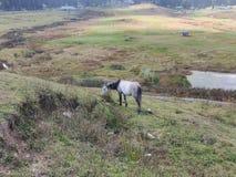 Pferd, das auf einem Hügel in Kaschmir weiden lässt stockfotografie