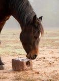 Pferd, das auf einem Salzblock leckt lizenzfreie stockbilder