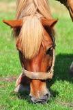 Pferd, das auf einer Wiese weiden lässt Lizenzfreies Stockfoto