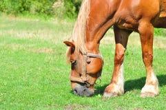 Pferd, das auf einer Wiese weiden lässt Stockbilder