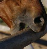 Pferd, das auf Geländer kaut Stockbild