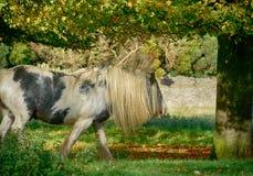 Pferd, das auf Minchinhampton-Common weiden lässt; Das Cotswolds; Gloucestershire lizenzfreie stockfotos