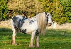 Pferd, das auf Minchinhampton-Common weiden lässt; Das Cotswolds; Gloucestershire; Großbritannien lizenzfreies stockbild
