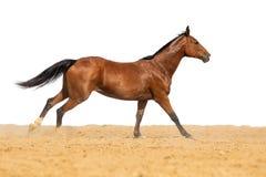 Pferd, das auf Sand auf einem weißen Hintergrund galoppiert stockfoto