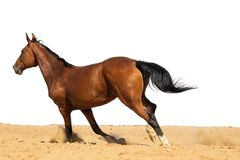 Pferd, das auf Sand auf einem weißen Hintergrund galoppiert stockbilder