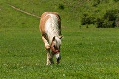 Pferd, das auf Wiese weiden lässt Lizenzfreie Stockbilder