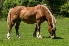 Pferd, das auf Wiese weiden lässt Lizenzfreies Stockbild