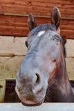 Pferd, das aus dem Bolzenfenster heraus schaut lizenzfreies stockbild